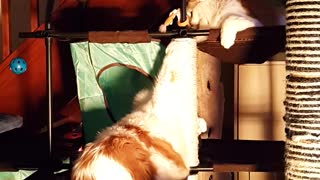 Is It Slapsgiviving Already?! Cats Play Fight on Cat Tree - Video