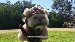 Munchkin the Teddy Bear is an ewok! - Video
