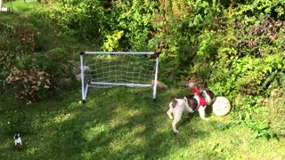 French Bulldog displays impressive goalkeeping skills - Video