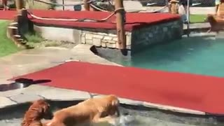 Golden Retrievers Play at Waterpark