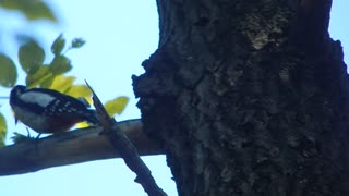 woodpecker caught its prey - Video