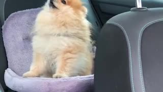 Pomeranian howls in protest when owner leaves car