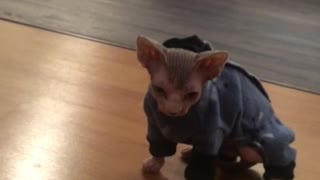 Sphynx kitten wearing pjs for the first time