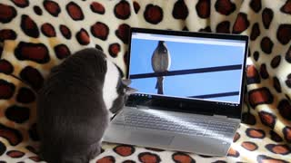 Funny Cat watching Laptop