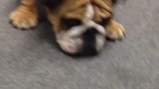 English Bulldog reacts to ear cleaning bottle - Video