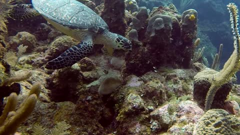 Critically Endangered Hawksbill Turtle Swims Within Inches of Diver