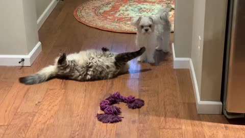 Dog tries relentlessly to get kitty to play tug o war