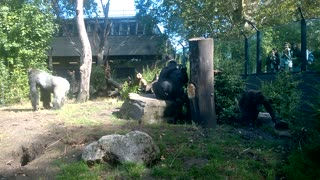 Funny Gorillas Playing Games!