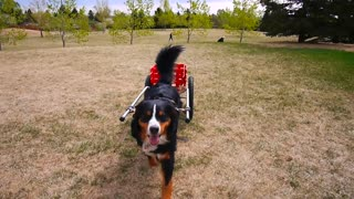 Bernese Mountain Dog Pull the Cart - Video