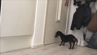 Dachshund waiting for owner to return