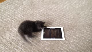 Intense kitten attempts to catch mice on iPad - Video