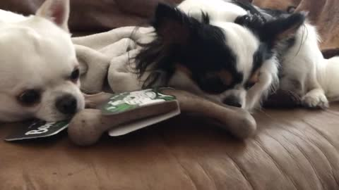 Greedy Chihuahua won't share, but watch what happens