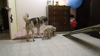 Playtime with a Husky and baby lamb - Video