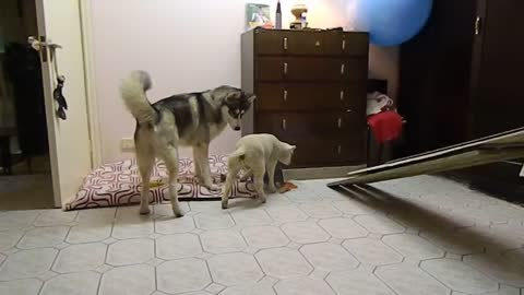 Playtime with a Husky and baby lamb