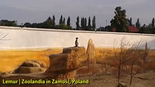 Lemur | Zoolandia in Zamość, Poland - Video