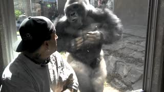 Silverback Gorilla At Omaha Zoo Repeatedly Attacks Visitors - Video