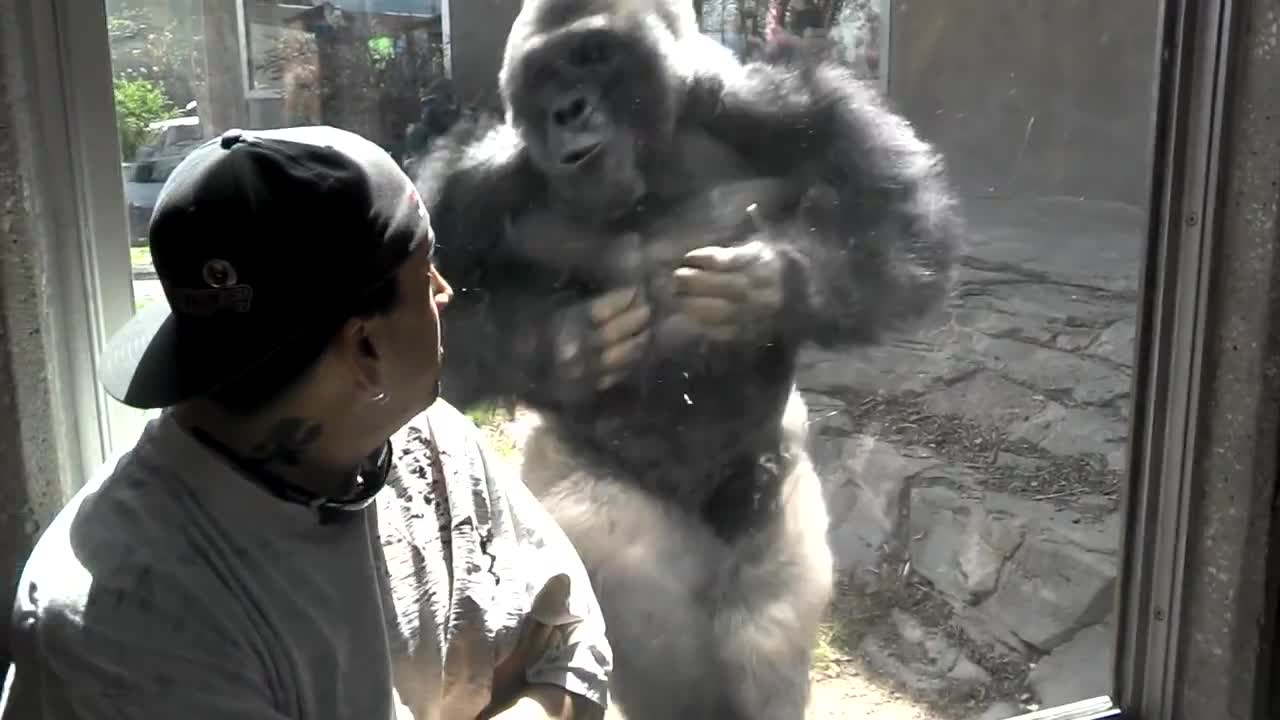 silverback gorilla shows off strength in front of zoo visitors