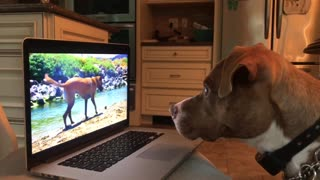 Intrigued pup can't stop watching dogs on laptop