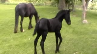 Jumping Foal Wipes Out In Wet Grass - Video