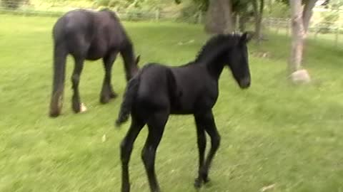 Jumping Foal Wipes Out In Wet Grass