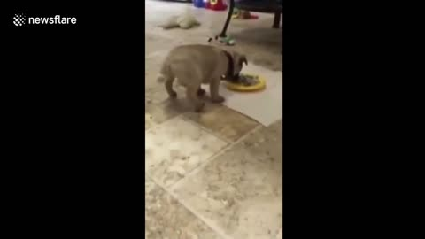 Clumsy Pooch Flips Head Over Heels Inside A Food Bowl While Eating