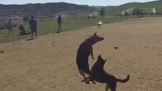Dog collision results in epic face-plant