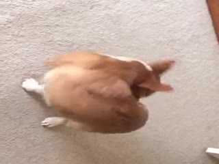 Corgi puppy chasing her tail - Video