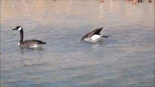 Fishing Geese  - Video