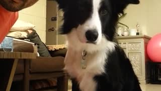 Border Collie trained to look at camera on cue - Video