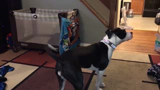 Bailey Chasing a Laser Pointer on the Ceiling - Video