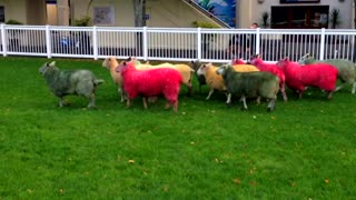 Coloured sheep run - Video