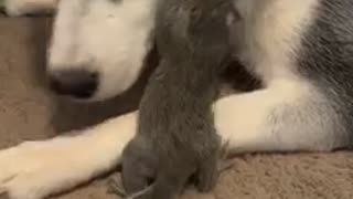 A husky and squirrel have become the best of friends