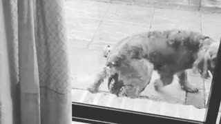 Black and white video dog humping ball outside of glassdoor stops when owner calls its name