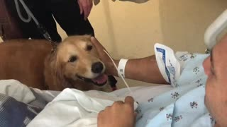 Golden Retrievers Visit Owner In Hospital After Open Heart Surgery - Video