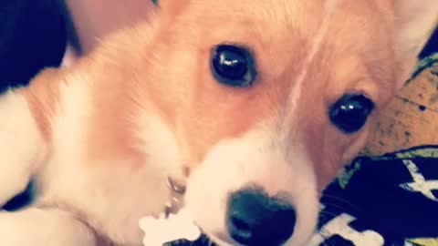 Corgi So Cute