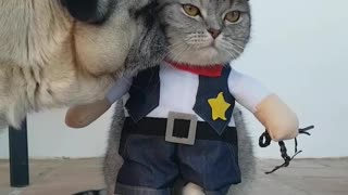 Pug not impressed with cat's cowboy outfit - Video