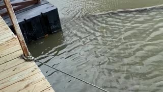 Fish Turns Into Bait for Even Bigger Fish