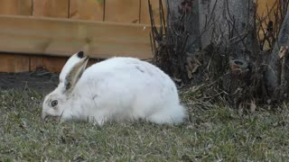 Hungry White Rabbit Finds Grass