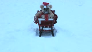 Munchkin the Teddy Bear dog goes sledding