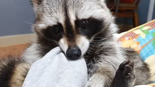 Raccoon's favorite activity is chewing on owner's clothes