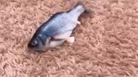 Yorkie has mind blown by remote controlled fish