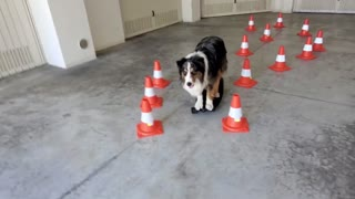 Rush the Dog Skating Through Cones and Switching Boards