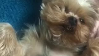 Small brown dog gets chest scratched on blue bed