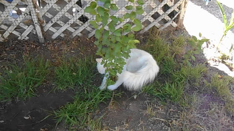 Ragdoll kitten attacks a plant