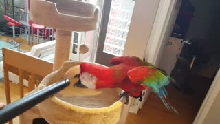 Parrot loves to play with vacuum cleaner