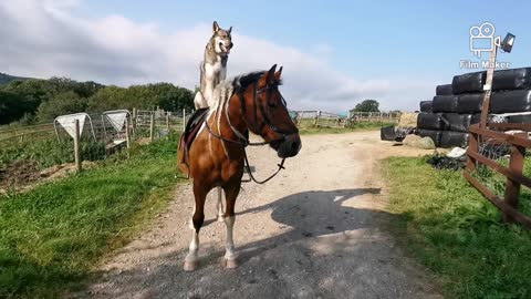 Dog goes for a horseback ride on top of his best friend