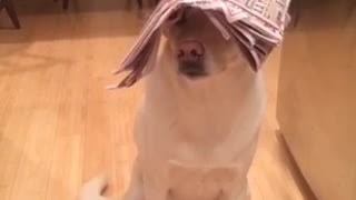 Dog humorously balances household objects on his head - Video