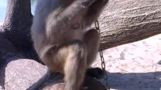 Monkey eating sausage
