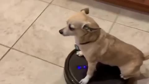 Totally chill dog rides Roomba around the house