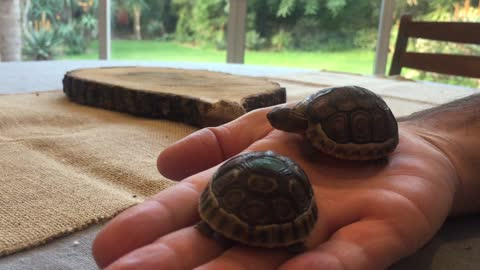 Baby Tortoise hides from her brother